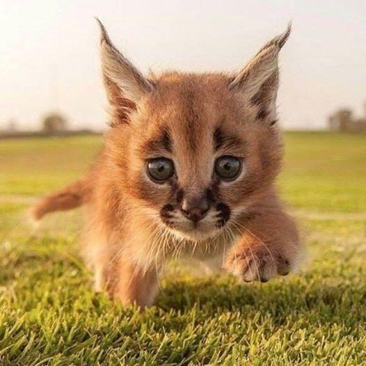 Это котенок каракала - дикой кошки